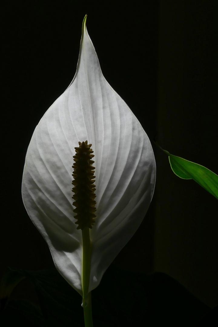 Neuner Martin_Einblatt (Spathiphyllum)
