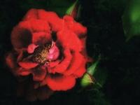 Kuhn-Dragomir_Rozina_a-rose-in-the-night