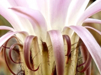 Martin-Neuner_Echinopses-KaktusBlüte
