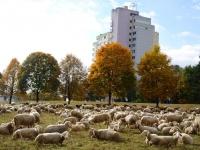 Schafe beim Hochhaus_Werner Dietz