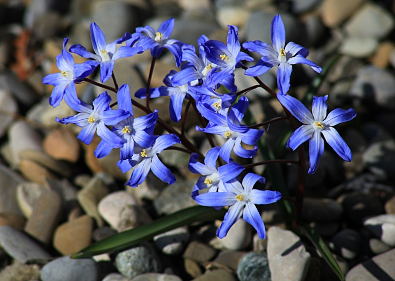 Blausternchen