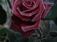 Rose_im_Raureif
