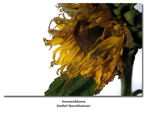 2018-06-10 23_04_40-Galerie CLICCS Foto Forum Heidenheim __ Ausstellung Natur __ Sonnenblume_Detlef_
