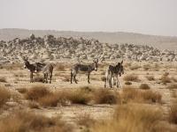 Algerien Ahaggar 24_Basaltlandschaft
