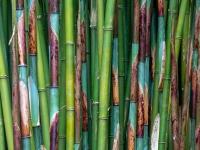RADENBACH-Werner-Bambus-TrebahGardenCornwall