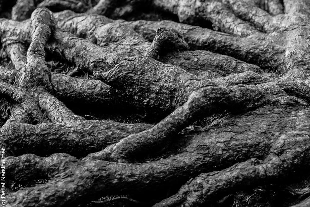 Baum, Wurzeln _MG_2184