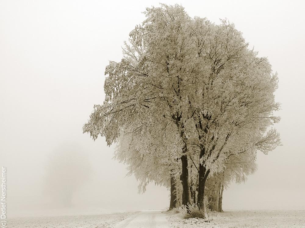 Baum, Zang _MG_2636