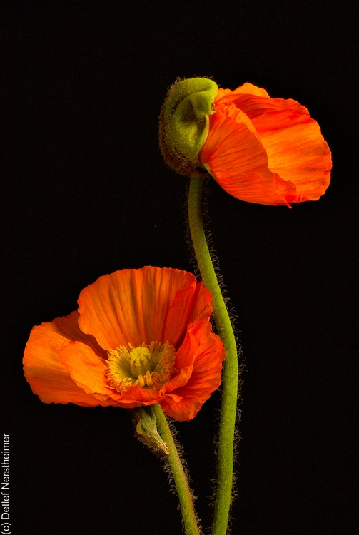 Blume, Mohn CRW_2962