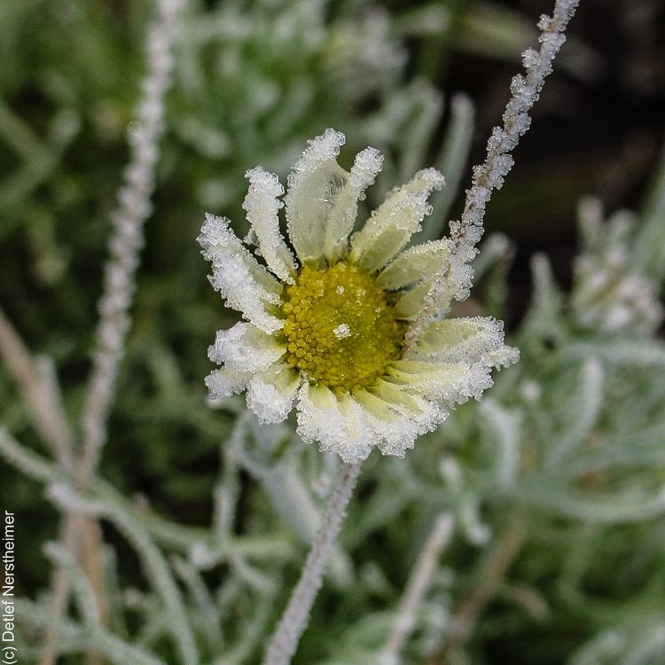 Blumen, Rauhreif PA206139