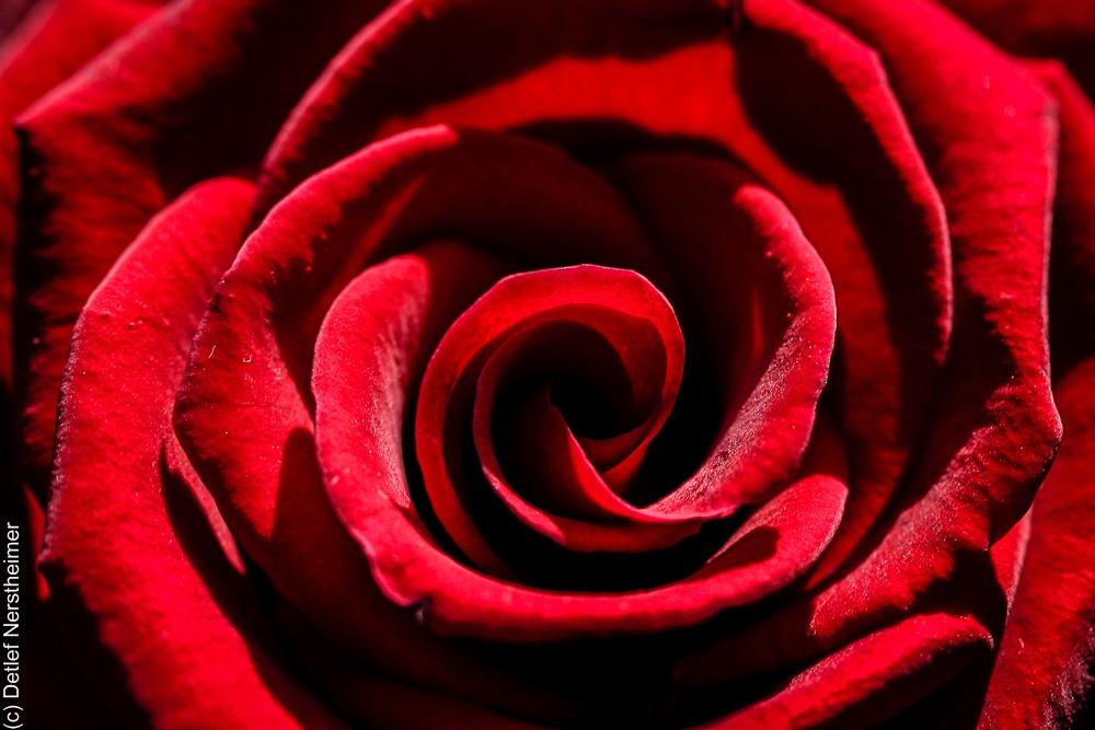 Bume, Rose IMG_8218