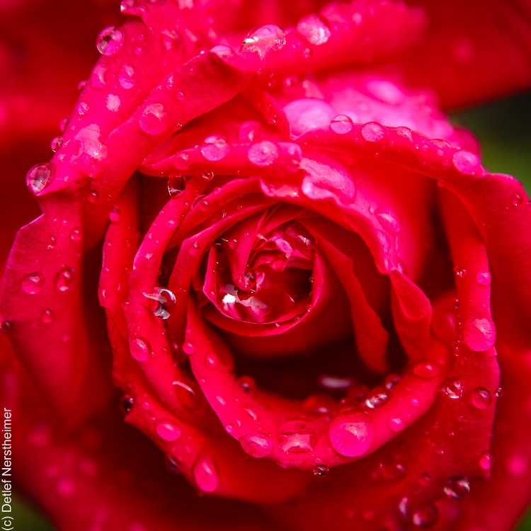 Bume, Rose IMG_8635