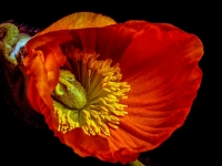 Blume, Mohn CRW_2932