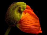 Blume, Mohn CRW_2938