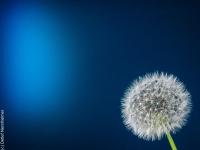 Blume, Pusteblume P5118286