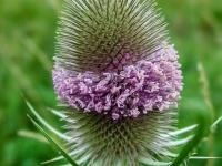 Blumen, Karde P7150007