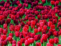 Blumen, Tulpe CRW_3146