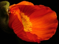 Blume, Mohn Mohn 1
