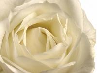 Blume, Rose IMG_0060a