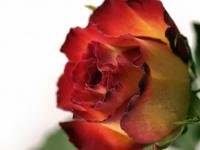 Blume, Rose IMG_9867b