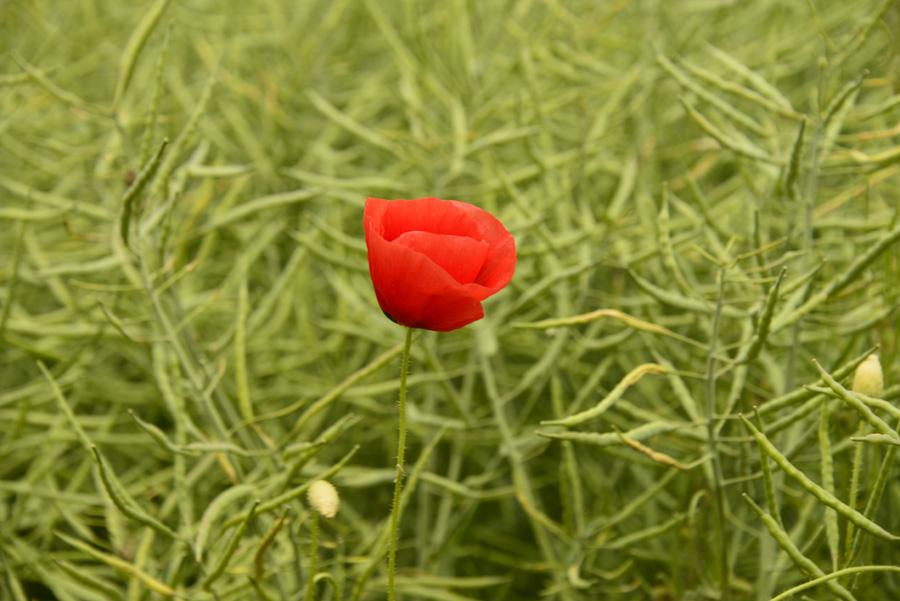 Stillleben - rote Blumen