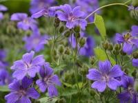 Stillleben - blaue Blumen