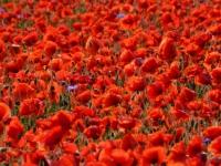 dragomir_rozina-beautiful_fields_of_red