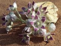 22_Calantropis-Blüten-305_MG_3159